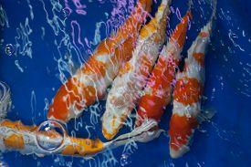 foto of koi fish  - Close up of koi fish swimming in a dark pond - JPG