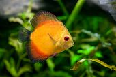 picture of diskus  - A discus fish  - JPG