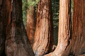 pic of sequoia-trees  - The Bachelor and Three Graces - JPG