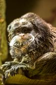 Little Monkey With A Mustache In A Zoo Looking At The Camera poster