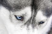 Detail Of Blue Eyes Of Siberian Husky poster