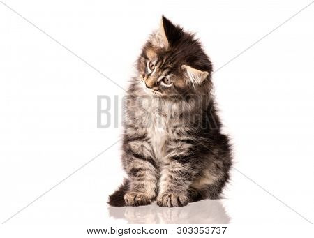 poster of Maine Coon kitten 2 months old. Cat isolated on white background. Portrait of beautiful domestic kit