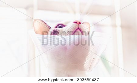 poster of Cat With Collar, Cat After Surgery, Pain In Cats, Painful Pets, Collar Cone Translucent Recovery Pla