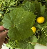 Fresh Green Vine Grape Leaves, Wrapping Stuffed Vine Leaves, Fresh Grape Leaves, For Making Vine Lea poster