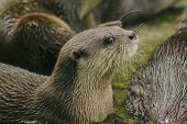 Small-clawed Otter With Dark Brown Hair White Neck Area The Hair Is Quite Short. Small Mammals In Wa poster