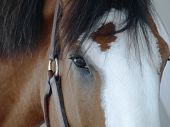 picture of clydesdale  - Close up photo of the face of a Clydesdale horse - JPG