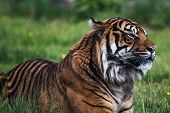 A Sumatran Tiger, Which Originally Inhabits The Indonesian Island Of Sumatra. It Has Been Classified poster