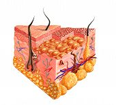 pic of fat cell  - Human skin cutaway diagram with several details - JPG