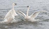 stock photo of trumpeter swan  - Trumpeter Swan  - JPG