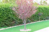 Summer Garden.flowering Tree-plum, Bushes And Grass In Front Of The House, Front Yard. Landscape Des poster