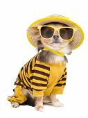 image of chiwawa  - Chihuahua dressed with t - JPG