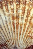 Seashell (ocean Shell Or Sea Shell) Texture Close Up. Natural Shell Pattern poster