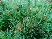 Pine Branch & Twig. Scotch Fir Tree Or Spruce Buds. Young Green Sprouts Fir Tree Twig Needles. Fresh poster