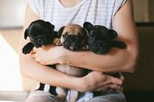Portrait Of Three Adorable Bulldog Puppies Sitting On The Hands Of A Girl. Puppies Are Looking Towar poster