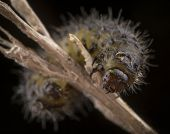 Little Hairy Caterpillar Of Dispar Lymantria On A Branch Macro Portrait poster