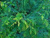 Cypress Cedar Tree Branch. Thuja Occidentalis Bush Is Evergreen Coniferous Tree In Cypress Family Cu poster