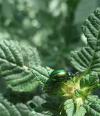 Iridescent Flower Chafer