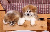 image of akita-inu  - Pets two Akita Inu puppy dog in drawer of sofa - JPG