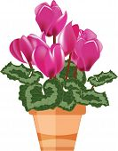 Pink Cyclamen In A Flower Pot Isolated On A White Background, Vector Illustration