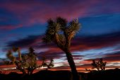 Joshua Tree Forest At Sunset