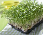 Garden cress growing on a tray