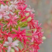 Pink Bouquet Of Quisqualis Indica Flower Closeup Over Blur Backgroud