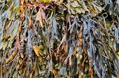 picture of plankton  - close up of seaweed background hanging down