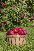 picture of orchard  - Basket of apples in an apple orchard - JPG
