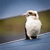 pic of blue winged kookaburra  - Wild kookaburra bird in the Grampians region of Australia - JPG