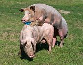 image of animals sex reproduction  - White pigs mating on grass on farm - JPG