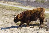 pic of highland-cattle  - Cattle scottish Highlanders in Zuid Kennemerland Netherlands  - JPG