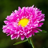 stock photo of chrysanthemum  - Pink chrysanthemum flower closeup - JPG