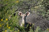 stock photo of greater  - Greater Kudu bull hiding behind trees and shrubs