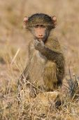 picture of anubis  - Cute baby baboon sit in brown grass learning about nature and what to do - JPG