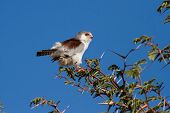 stock photo of small-hawk  - Pigmy falcon sit in thorn tree with bright blue sky beautiful tiny bird - JPG