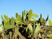 stock photo of nopal  - Chumbera Nopal Cactus Plant on Blue Sky background - JPG