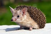 image of omnivore  - the eared hedgehog on the yellow sand - JPG