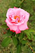 image of garden eden  - Close up Beautiful pink rose in a garden - JPG
