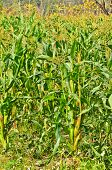stock photo of corn-silk  - wall of Green Corn field in farm - JPG