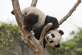 foto of pandas  - Giant Baby Panda Climbing on a Tree - JPG