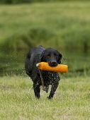 picture of chocolate lab  - A Black Lab retrieving a training dummy - JPG