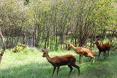 stock photo of roebuck  - A brown roe deer in a zoo - JPG