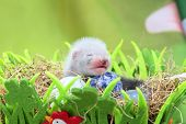 image of ferrets  - Two weeks old cute ferret baby in the nest of hay with decorations - JPG