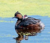image of grebe  - On a small marsh in the Alberta prairies an Eared Grebe chick takes a ride on the back of its parent - JPG