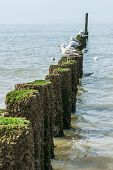 picture of albatross  - Timber groynes on the beach at the north sea Holland - JPG