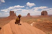 picture of vizsla  - pure breed vizsla dog sitting at the rim of Monument Valley