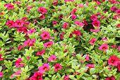 stock photo of petunia  - Red petunias - JPG