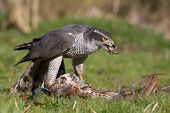 stock photo of goshawk  - Picture of a Goshawk taken in Oakham in UK eating a pheasant - JPG