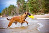foto of belgian shepherd dogs  - red belgian shepherd dog having fun on the beach