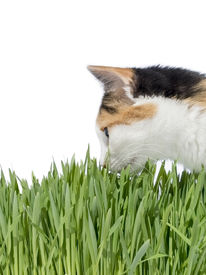 picture of laxatives  - Female cat smelling grass - JPG